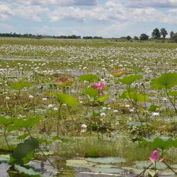 corroboree-billabong-lotus-lilly
