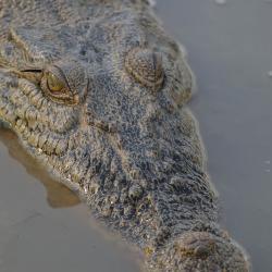 saltwater-crocs