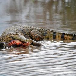 freshwater-crocodile
