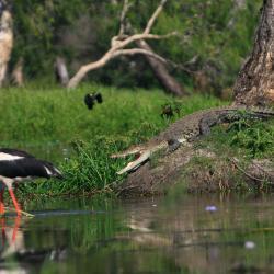 jabiru-crocodile