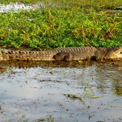 saltwater-crocodile-wetland-cruises