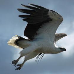 white-bellied-sea-eagle