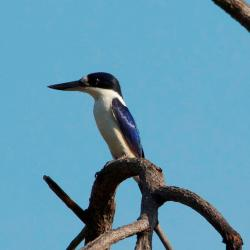 forrest-kingfisher