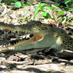 wetland-cruises-saltwater-crocodile