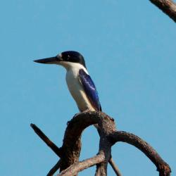 Forrest Kingfisher