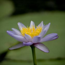 Nymphae Lily